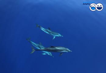 odo_idp_striped-dolphins-underwaterjpg