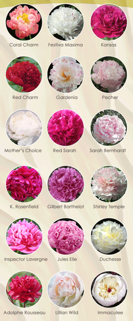 Peonies | What is the fuss all about? | Wedding Flower Tips + Tricks | At Last Florals