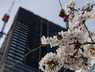 2021年の東京湾岸の桜