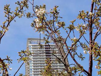 PT晴海・PC豊洲と今日の桜