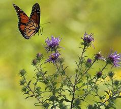 monarch-butterfly-wildflower-seeds-570x5