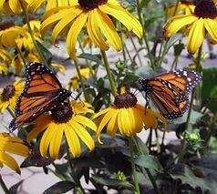 Butterflyway-monarchs-black-eyed-susans-