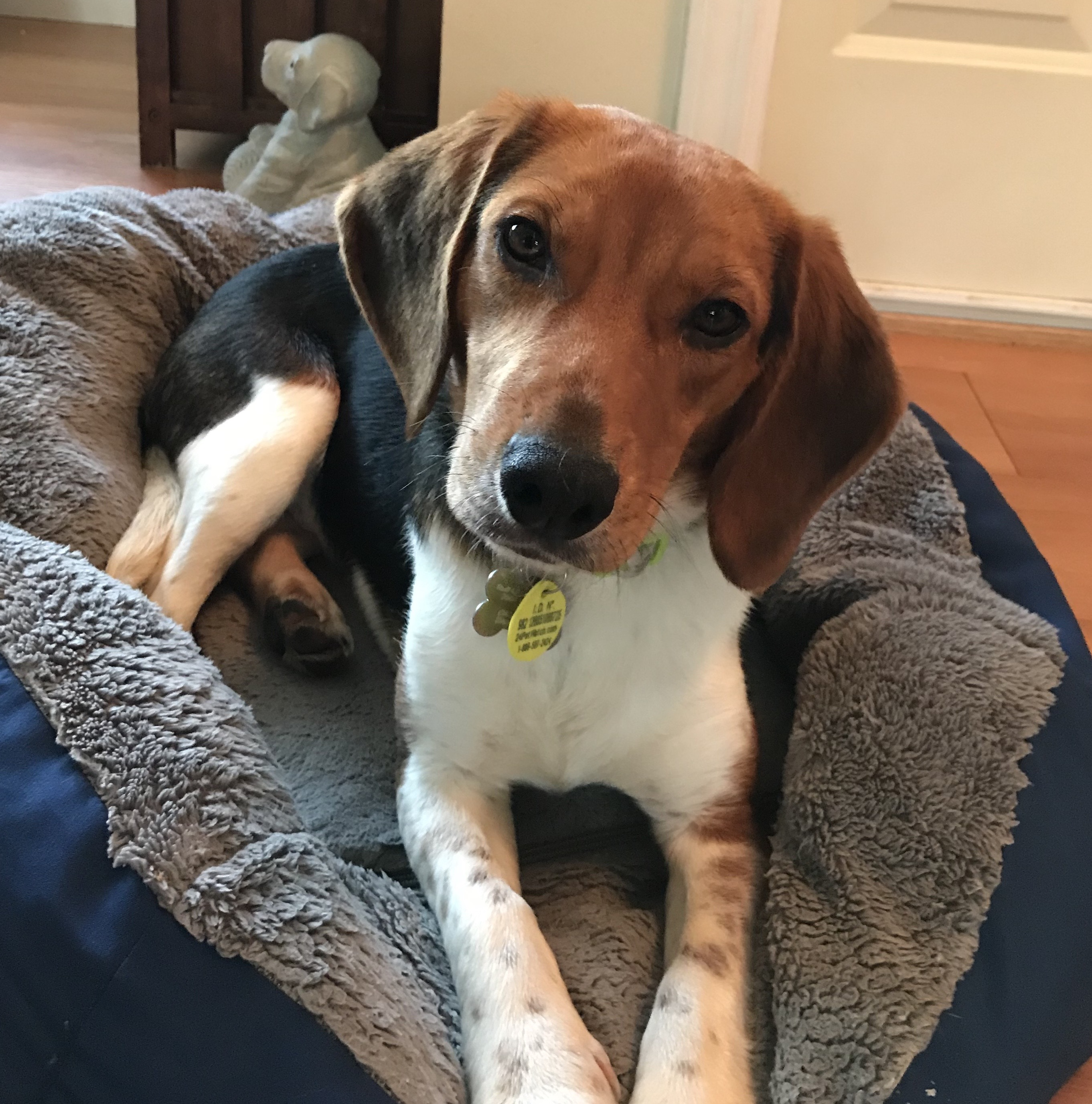 Buddy Beagle - 1