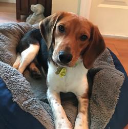 Buddy Beagle - 1