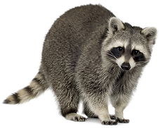 vippng.com-racoon-png-2255423.png