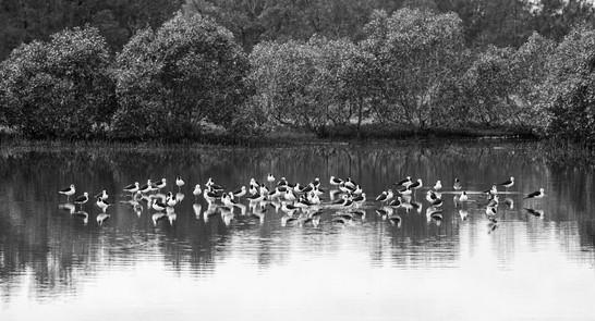 Black-winged Stilts. Australia.