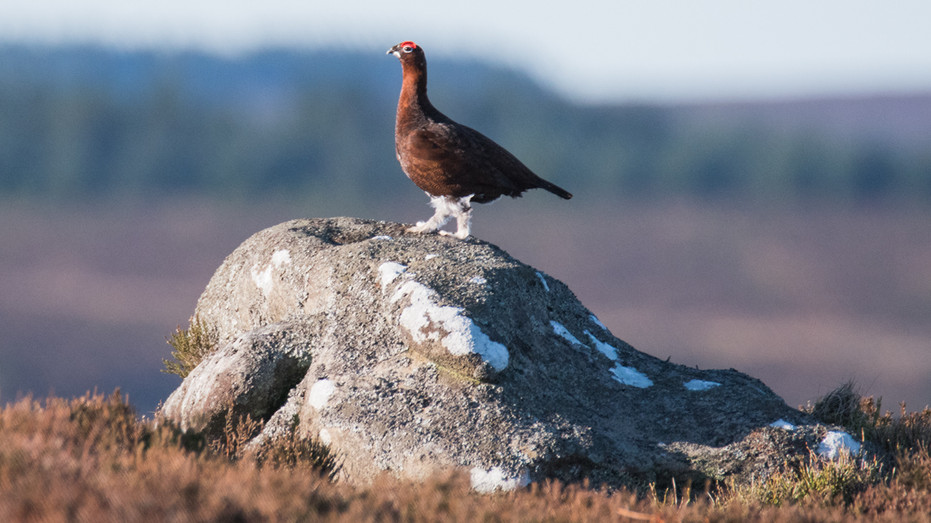 Cock Grouse on the Lookout