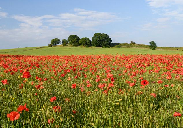 Fourstones Poppy Field.jpg