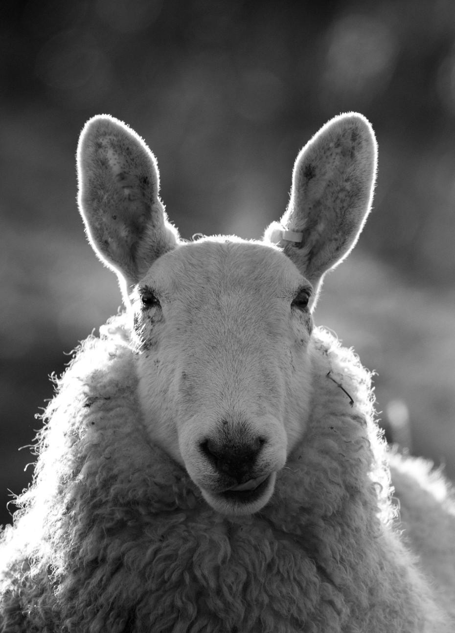 Back-lit Sheep. UK.