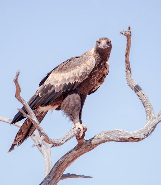 Wedge-tailed Eagle Eye-to-Eye
