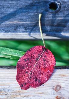 Dewy Leaf on Bench