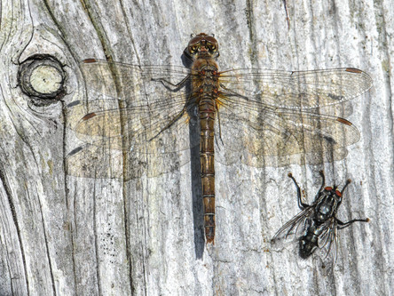 The Dragonfly and the Flesh-fly