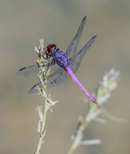 Lilac and Pink Dragonfly