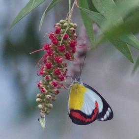 Union Jack Butterfly