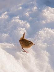 Wren in snow