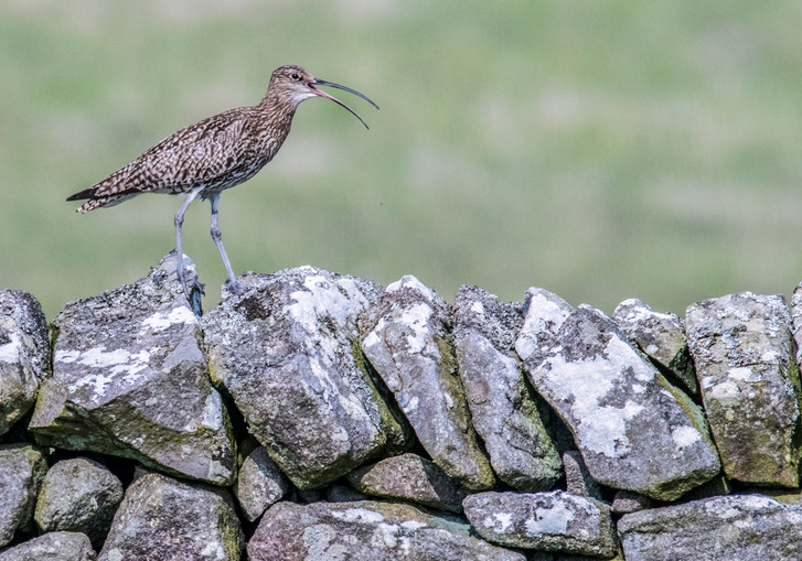 Calling Wall - Curlew