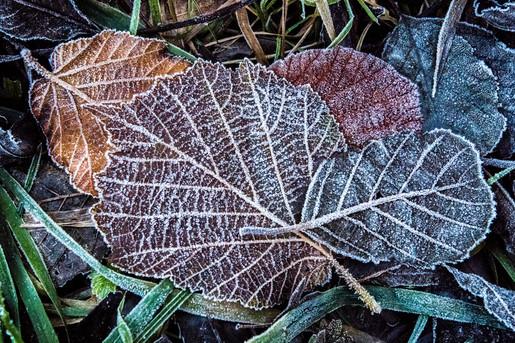 Frosty Leaf Litter