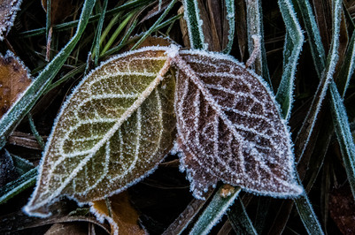 Frost on a Leaf Pair