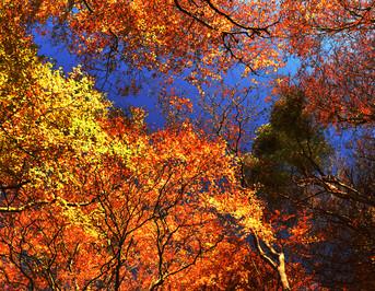Autumn leaves like fire. UK.