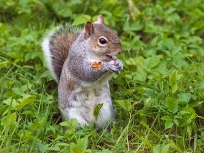 Grey Squirrel sporting Gold Leaf Bling