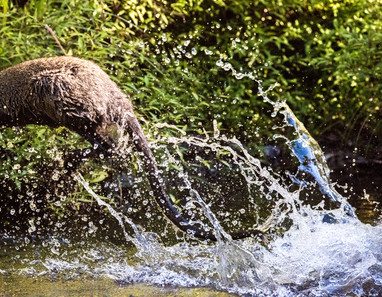 Wallaby Splash. Australia.