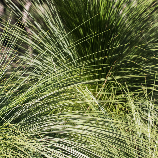Spray of Grass. Australia.