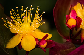 'Perforate St. John's-Wort ' by Sue McBean - Commended