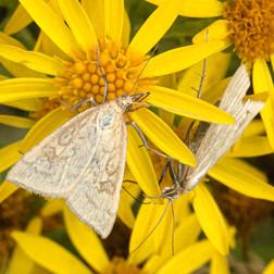 2019RFNHM_PDI_024 - Straw Pearl Moths on Ragwort by Sue McBean.