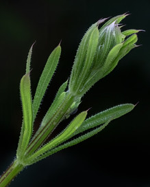 'Goosegrass' by Sue McBean - Commended