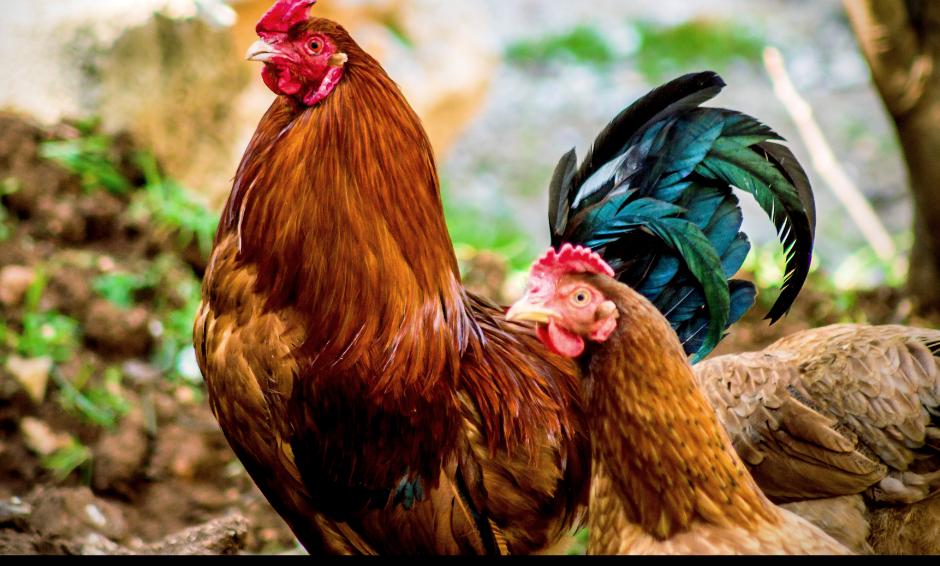 Free-Range Chicken (Frozen) - 2kgs
