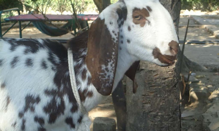 Local Khasi/Goat - 2kgs