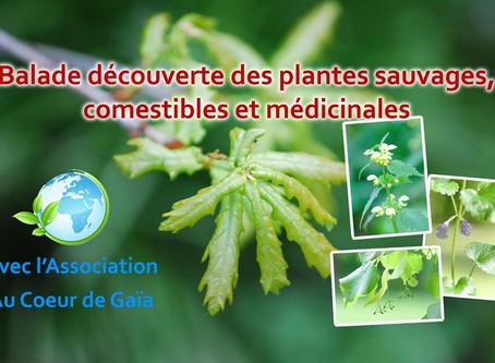 Balades découverte des plantes sauvages, comestibles et médicinales