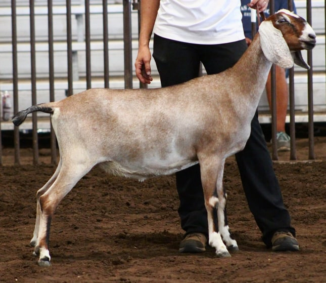 SilverFire Last One to Show 2*M