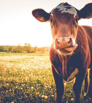 Happy single cow on a meadow during suns
