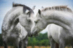 Two beautiful white horses.jpg