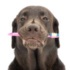 Labrador dog with toothbrush isolated on