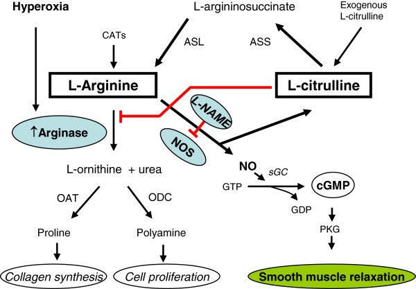 https://www.researchgate.net/publication/230631493_L-citrulline_supplementation_reverses_the_impaired_airway_relaxation_in_neonatal_rats_exposed_to_hyperoxia