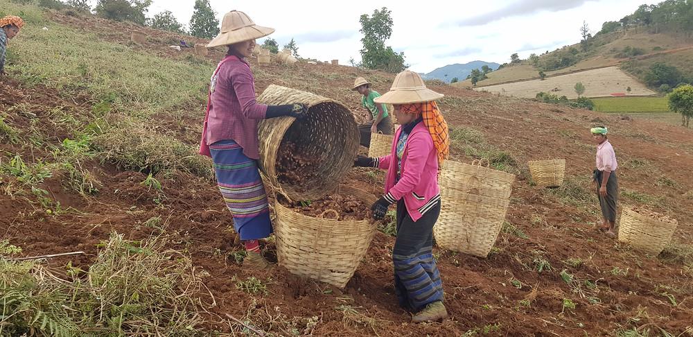 A des dizaines de kilomètres du lac Inle, au Myanmar, les femmes gagnent environ 2500 kyats par jour.