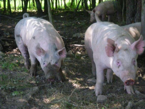 Happy pigs in mud