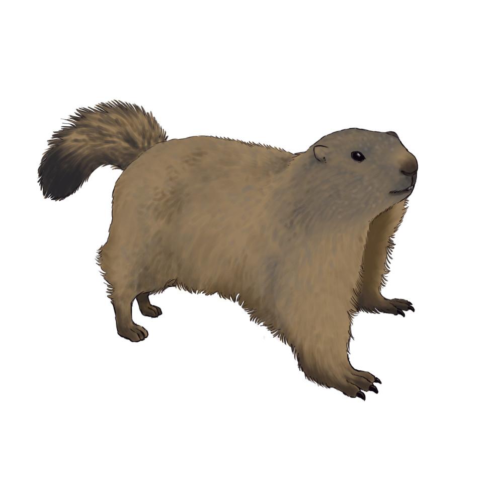 Faune - Marmotte