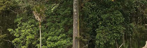 IMG_0303_Rimu_Leaf_edited.jpg