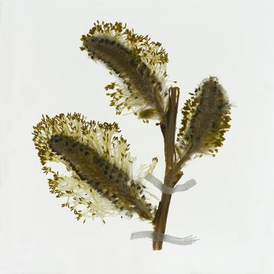 Goat Willow (Salix caprea). Detail from Florilegium: Honey Flow I (spring).  2014. By Amy Shelton.