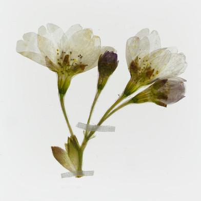 Cherry blossom (Prunus). Detail from Florilegium: Honey Flow I (spring).  2014. By Amy Shelton.