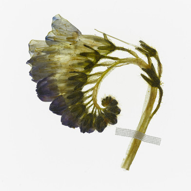 Comfrey (Symphytum officinale) Detail from Florilegium: Honey Flow II (early summer).  2014. By Amy Shelton.