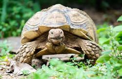 Sulcata-Tortoise