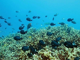 black-fishes-swimming-near-corals-at-red