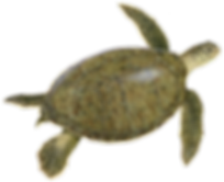 green%2Bturtle-illustration_edited.png