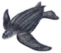 Illustration+of+a+Leatherback.png
