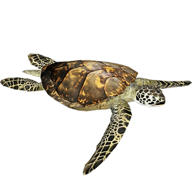 FAVPNG_olive-ridley-sea-turtle-reptile-b