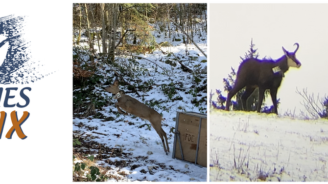 Brève de faune - Capture de chevreuils et chamois dans le Jura